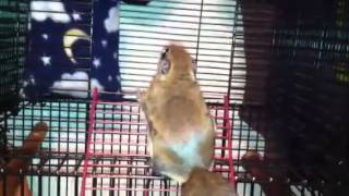 In this video i show you my two pet flying squirrels Bella and Mya. I got them from a web site called helenslittlecritters.com if you are interested in check...