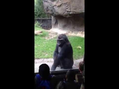 Gorila molesto le da buena lección a unos fastidiosos niños