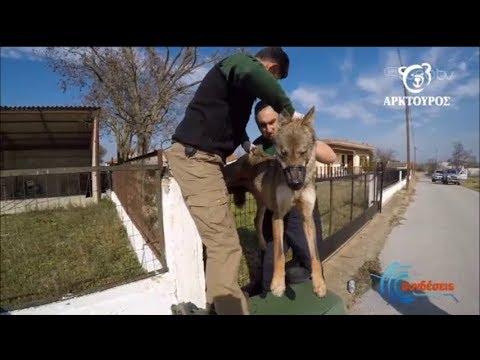'Εσωσαν λύκο που κρεμάστηκε σε φράχτη | 20/02/2020 | ΕΡΤ