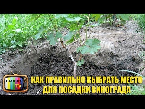 Когда весной можно сажать виноград 62