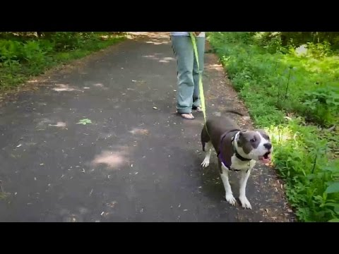 Training To Help Calm A Dog Who Barks And Lunges On Leash
