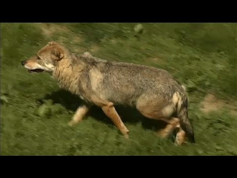 Streit um Frankreichs Wölfe - Die Schäfer sind mit  ...