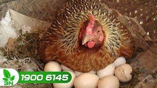 Chăn nuôi gà | Lưu ý khi tiêm vacxin cho gà đẻ, tránh hậu quả đáng tiếc