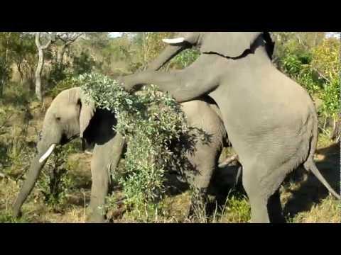 Video Gay Elephants Doin' It - Rare Footage download in MP3, 3GP, MP4, WEBM, AVI, FLV January 2017