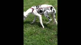 Stella - Great Dane (short coat) Dog For Adoption