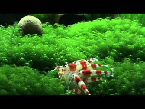 """My project A Touch of nature """"Crystal Red Shrimp – Caridina cantonensis sp. """"crystal red"""""""