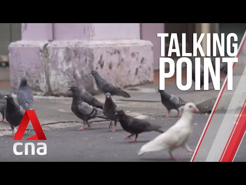 CNA | Talking Point | E20: Controlling Singapore's pigeon population