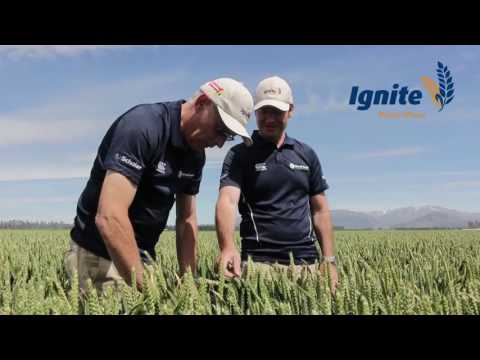 Ignite - Milling Wheat