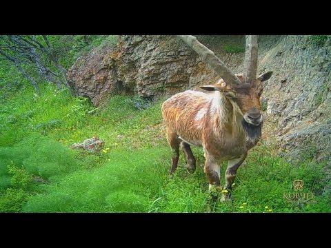 Горная Армения. Царство безоара  / Mountainous Armenia. The Kingdom of Bezoar (видео)