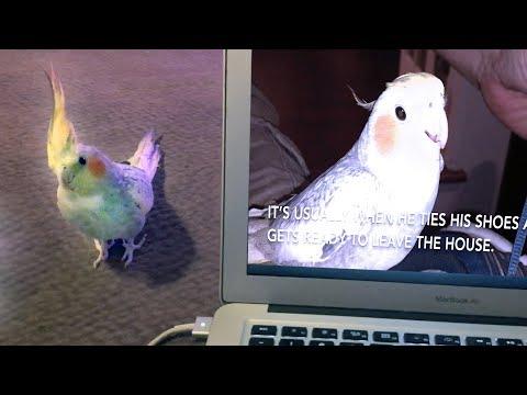 Реакция австралийского попугая на ролик, где он напевает рингтон iPhone