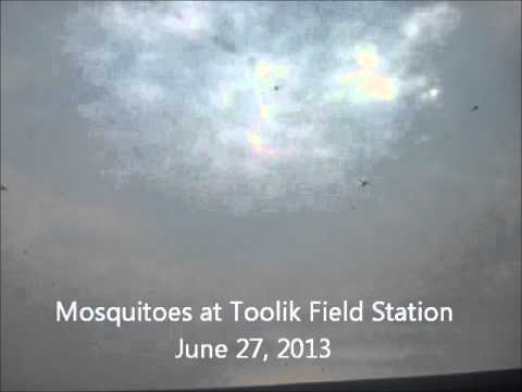Mosquitoes at Toolik Field Station in the Arctic