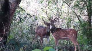 Kabini India  city photo : Stag fighting in Nagarahole Wildlife Range - Kabini, India