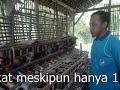 Ayam Layer Bertelur 3 Butir Per Hari Pola Nogososro Sabuk Inten