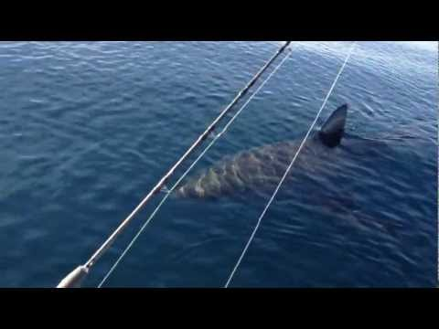 Great - PART 2 of video http://www.youtube.com/watch?v=ShfyNP_a8Gw This great white shark circled our 21ft boat for 20 minutes and made contact with the boat (slappe...