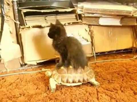 貓咪騎烏龜