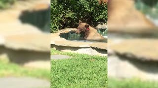 California Bear Gets Hot Tub Treat