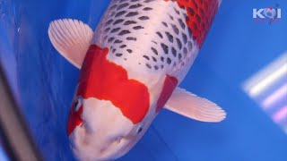 These Are The Best 17 Koi Fish In Their Variety Class | Sakura winners