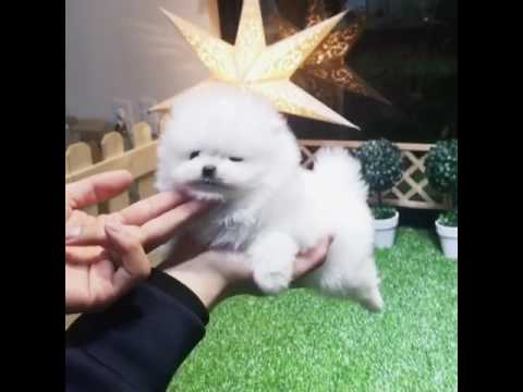 Teacup size white Pomeranian looking for new home
