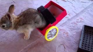 Инвалидная тележка для парализованного крольчонка