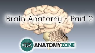 Basic Parts Of The Brain - Part 2 - 3D Anatomy Tutorial