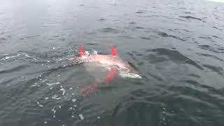 Video FREAKY ORANGE CIRCLE FISH - THE OPAH - HD FOOTAGE MP3, 3GP, MP4, WEBM, AVI, FLV Februari 2019