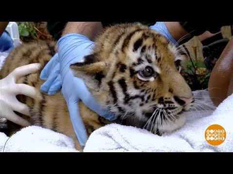 В мире. Амурские тигрята-близнецы. 19.09.2018 - DomaVideo.Ru
