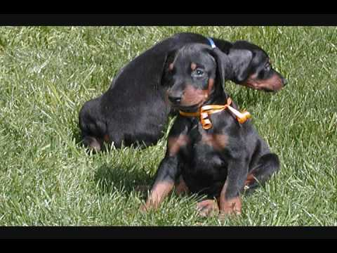 doberman puppies for sale. AKC Male doberman puppies for
