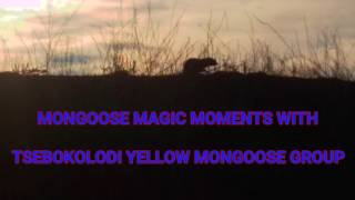 MONGOOSE MAGIC MOMENTS WITH THE TSEBOKOLODI YELLOW MONGOOSES Cynictis penicillata