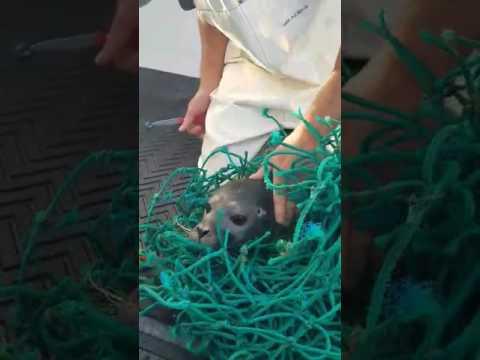 Kalastajat vapauttaa hylkeen verkosta