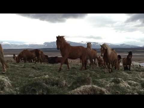 Icelandic horses are super friendly