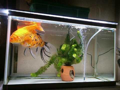 朱文金と和金。goldfishmanのgoldfish