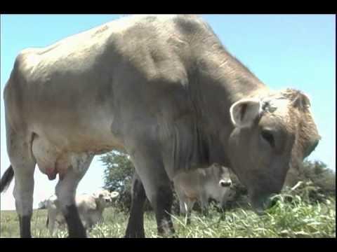 Pastoreo intensivo tecnificado - Buenas prácticas de producción de leche de vaca (3/6)
