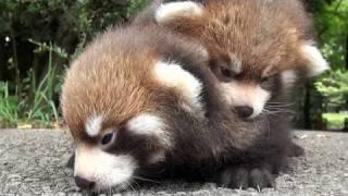 動物園のかわいい赤ちゃんたち〜動画で楽しむどうぶつ赤ちゃん〜 YouTube video