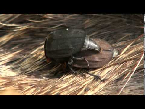 carrion beetles mating