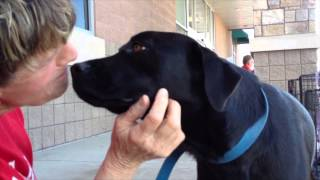 Dinky - Labrador Retriever / Mixed (short coat) Dog For Adoption