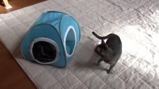 水色テントとねこ2。-Light blue tent and Maru&Hana2.-