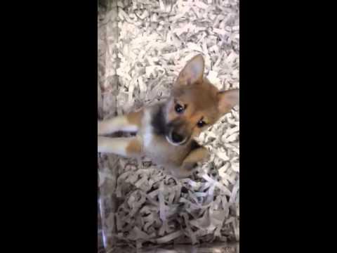 Trylon gorgeous Shiba Inu Puppy