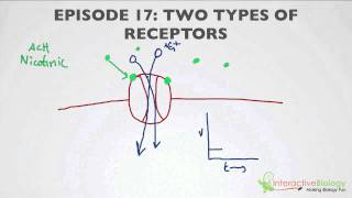 017 Two Types Of Receptors