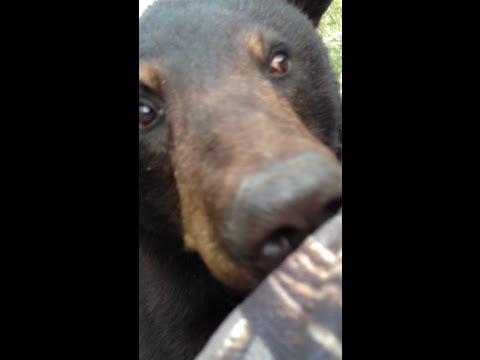 Un ours grimpe au coté du mirador d'un chasseur !