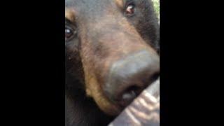 Ogromny niedźwiedź wspina się na drzewo do gościa, który go obserwuje