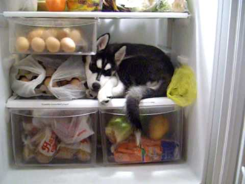 WATCH This Adorable Puppy Set Up Camp Inside A Fridge