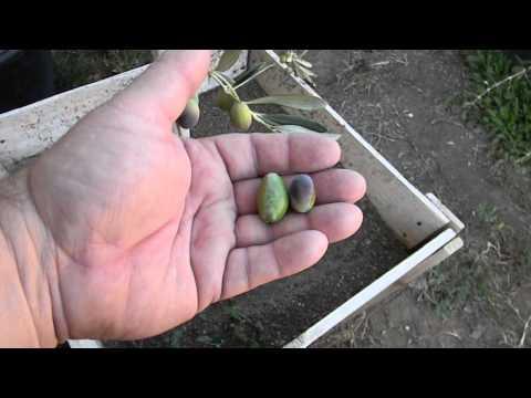 Coratina Italian Olive Tree