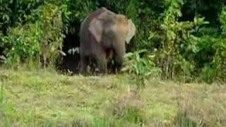 Wild Borneo Pygmy Elephant