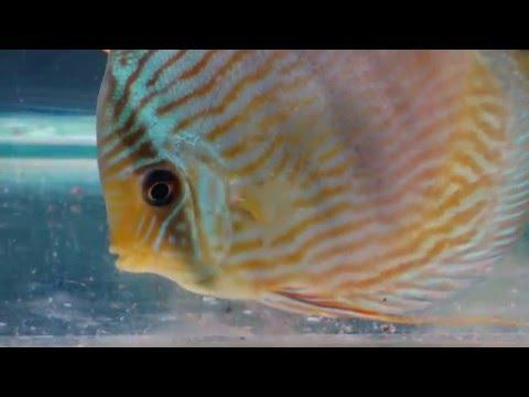 Heckel Blue Nhamunda