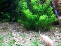 aquario plantado c/ coridoras hastatus, 1 cori albina, 1 cori schwartzi, 2 otos e etc...