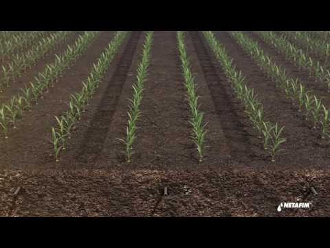 Subsurface drip irrigation for corn