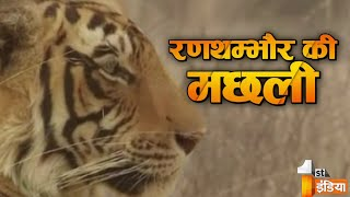 Ranthambore India  city pictures gallery : Queen of the Jungle | Ranthambore's Machhali | Wildlife history of India | Story of T-16