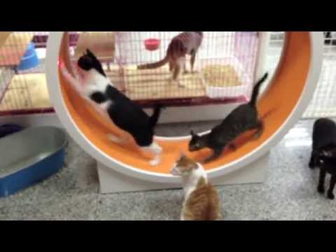 Cats Running Wheel
