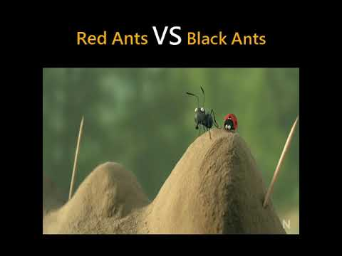 Red Ants vs Black Ants