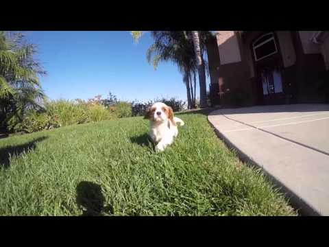 Super Nice Blenheim Cavalier Female Puppy SD, CA